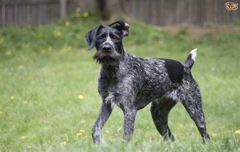 German Wirehaired Pointer Dog Breed Information, Buying