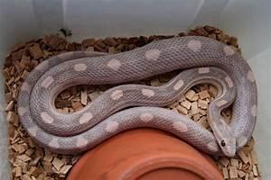 The gallery for --> Lavender Stripe Corn Snake