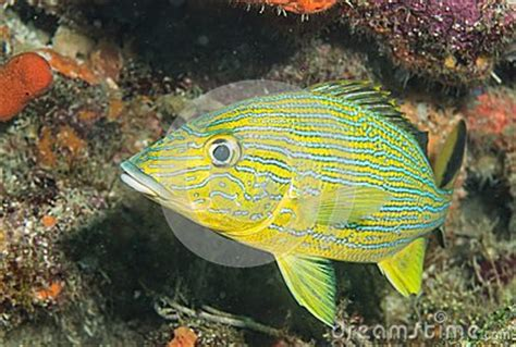 blue striped grunt   reef stock images image