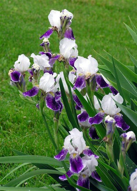 iris plant care 28 images gardening gardening gardening 187 late summer iris planting care