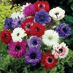 Van Zyverden Wind Flowers Anemones St Brigid Mixed Bulbs