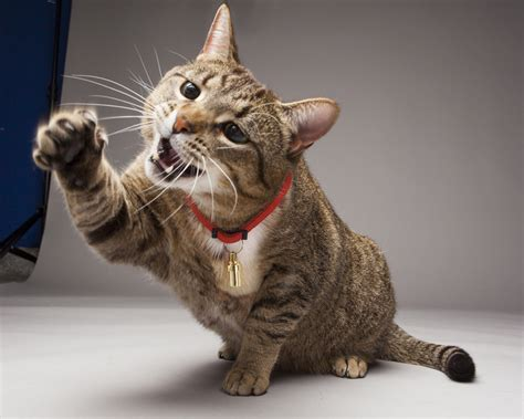 Cat Liver Disease Symptoms