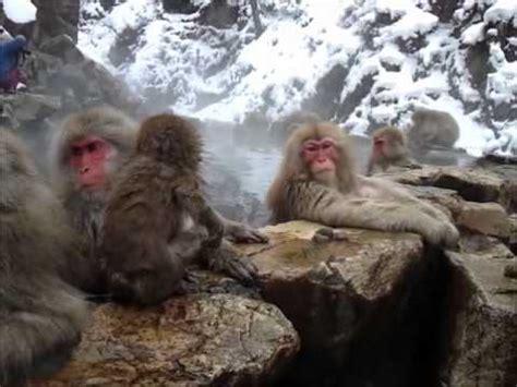japanese monkeys   hot tub youtube