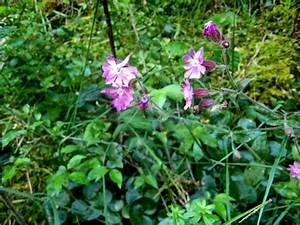 Pflanzen Im Mai : ernstbachtal und kalte herberge rote lichtnelke 2008 05 25 08 23 20 ~ Buech-reservation.com Haus und Dekorationen
