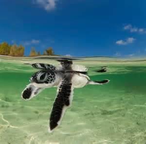 Baby Sea Turtles Swimming