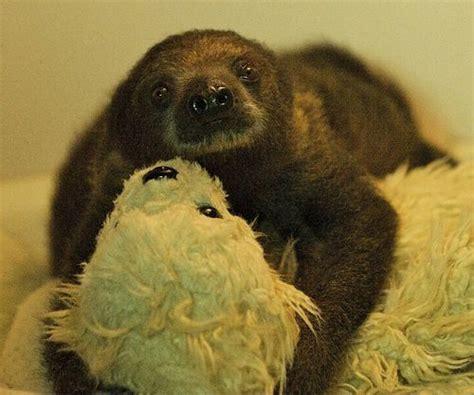 Go Sid Go! Baby Sloth Thrives At Bristol Zoo Zooborns