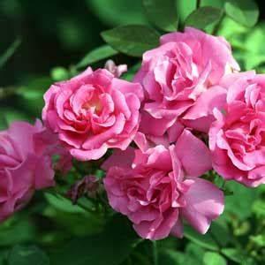 Rosier Grimpant Remontant : rosier zephirine drouhin rosier grimpant mon eden ~ Melissatoandfro.com Idées de Décoration