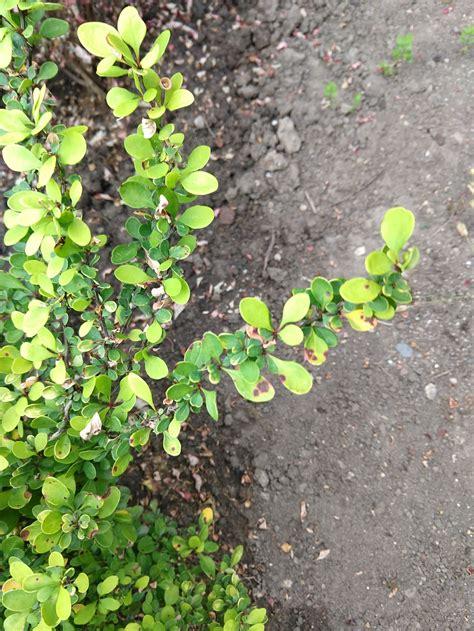 blätter werden braun und trocken pilzbefall fragen bilder pflanz und pflegeanleitungen