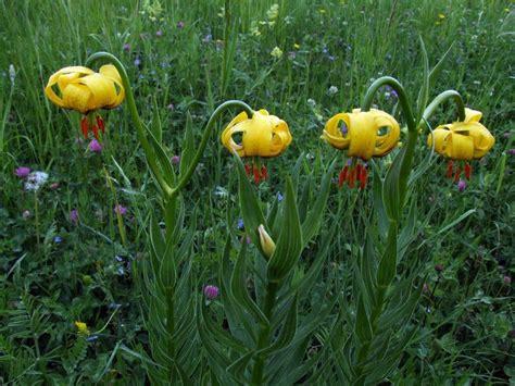 Lilium bosniacum Bosnia and Herzegovina. | BIH | Pinterest ...