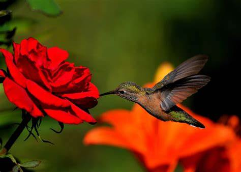 Hummingbird Wallpapers Images Photos Pictures Backgrounds