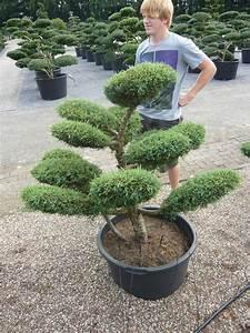 pflanzenspecial gartenbonsai kostbarkeiten japans With garten planen mit bonsai ficus