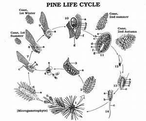 Gymnosperms Pine Cones
