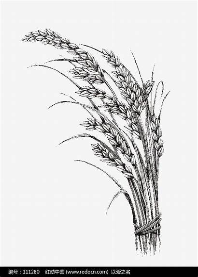 Rice Plant Drawing Tattoo Wheat Realistic Line