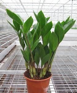Zimmerpflanzen Für Schatten : licht f r zimmerpflanzen ~ Michelbontemps.com Haus und Dekorationen