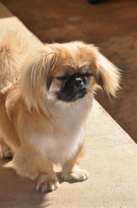 daily dog breed  pekingese