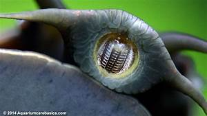 Mystery Snail Teeth Cleaning Glass