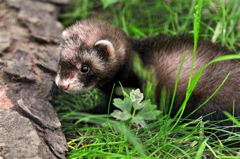 furetto furetti ferret hurones frecuentes preguntas respuestas quali cutest vaccinazioni tambako nuova erba prato mascotas animals jaguar quando acondicionamiento hogar