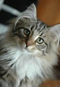 cat ear hair 9 cats that prove the fluffiest ears are the cutest ears