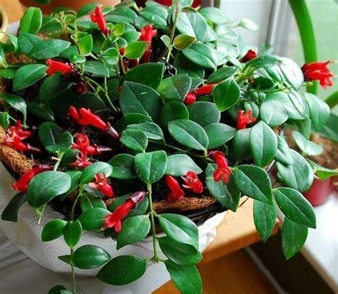 tanaman lipstik lipstick plant bibitbungacom