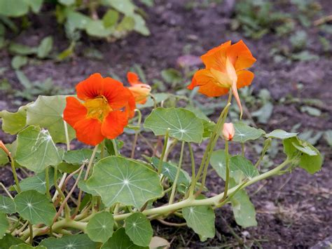 Garden Nasturtium by Garden Nasturtium Tropaeolum Majus Flowers Naturegate