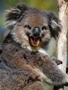 Smiling Koala Bear