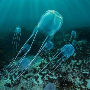 Box Jellyfish | National Geographic
