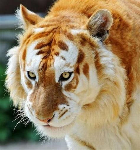 Cool Animals Pictures Beautiful Golden Tabby Tiger