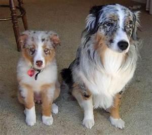 Isabella the Australian Shepherd | Puppies | Daily Puppy