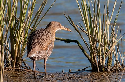 invasive weed removal harms native bird in california