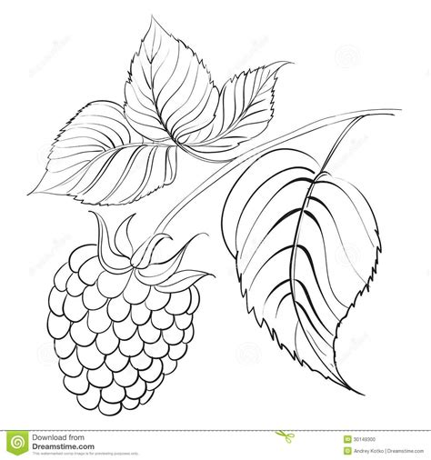 raspberry bush clipart black and white raspberry branch with berry isolated on white stock