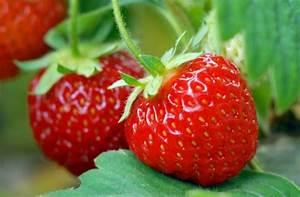 Was Brauchen Pflanzen Zum Wachsen : erdbeeren pflanzen im garten oder auf dem balkon ~ Frokenaadalensverden.com Haus und Dekorationen