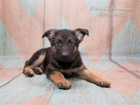German Shepherd Puppies For Sale Unparalleled For Protection And Loyalty