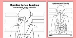 Label The Digestive System Worksheet