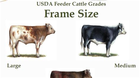 feeder cattle grading beeflive eat beef
