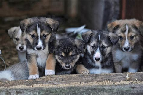 Puppies Stock Photo. Image Of Barn, French, Breed
