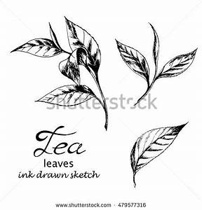 Vector Set Tea Leaves Ink Drawn Stock Vector 479577316 ...