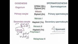 Oogenesis Versus Spermatogenesis