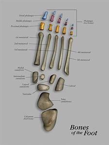 Foot  U0026 Ankle Bones