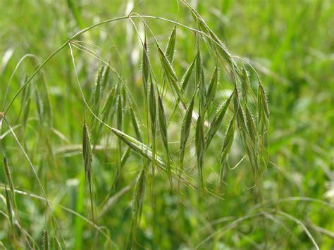 http://www.botanikaiforum.com/t3822f142-csoemoeri-f-Bromus-tectorum.html