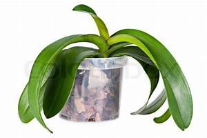Orchideen Ohne Topf : wachsende orchideen pflanzen ohne bl ten in transparent blumentopf mit speziellen boden auf ~ Eleganceandgraceweddings.com Haus und Dekorationen