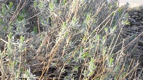 how to prune a lavender bush how to prune lavender in spring youtube