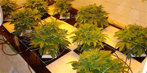 Top Best Hydroponic Systems For Growing Cannabis