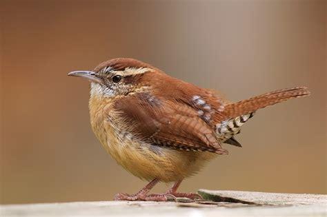 carolina wren birds world