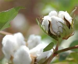 Baumwolle (Gossypium herbaceum) Porträt der beliebten