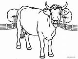 Cow Coloring Pages Printable Cool2bkids Adults Head Cows Cute Sheets Baby Animal Getcolorings Printables Getdrawings sketch template