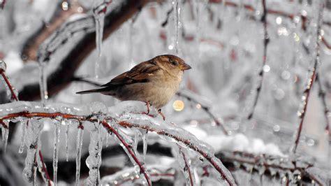 birds sparrows hd wallpapers volganga