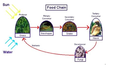 lesson  food chains mpalalive