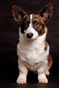 Cardigan Welsh Corgi dogs | cute puppy pictures | cute ...