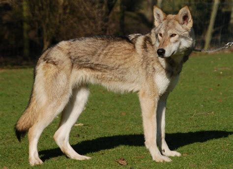 tamaskan dog wolf dogs  wolf  dogs pinterest
