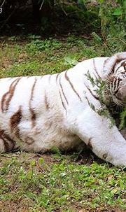 Sapphire the White Tiger catching some Zzzz's on her ...